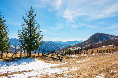 sunny springtime weather in mountain. beautiful carpathian rural countryside. spruce trees near the wooden fence on the meadow with weathered grass with melting snow. snowy tops on the distant ridge