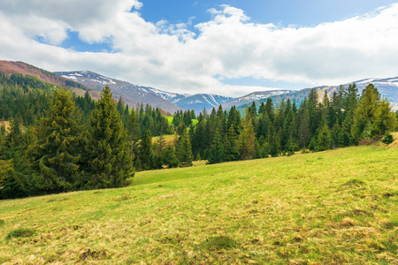 springtime landscape in mountains. coniferous forest on the grassy slope. distant ridge with spots of snow. cloudy afternoon weather