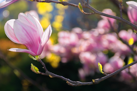 beautiful pink blossom of magnolia flower. wonderful spring background. flower close-up Stock Photo