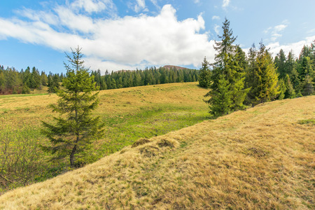 beautiful springtime landscape in mountains. spruce trees on the slope in weathered grass. sunny weather with cloudy sky.