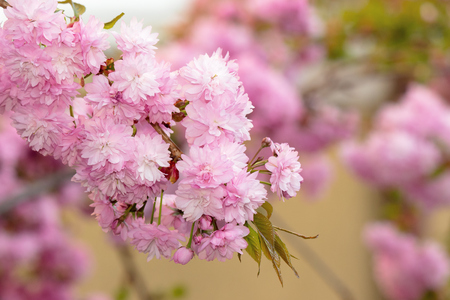sakura tree in blossom. beautiful pink flower close up. background with blurred garden.