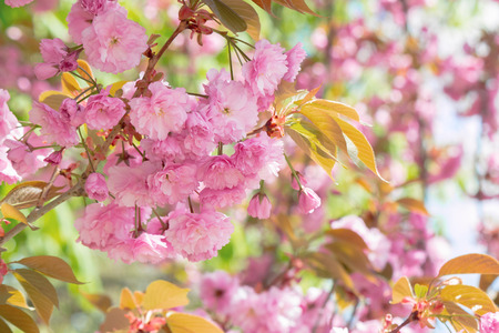 sakura tree in blossom. beautiful pink flower close up. background with blurred garden. sunny morning Фото со стока