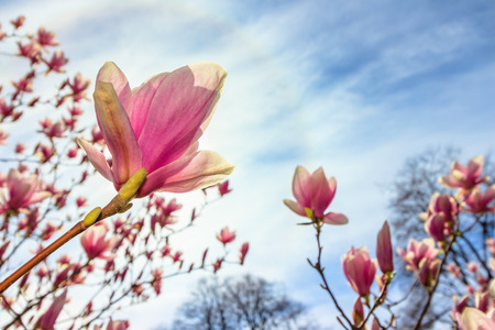 magnolia tree in blossom. beautiful purple flower close up. background with blue sky, clouds and rainbow. sun behind the plant. Stock Photo