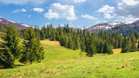 beautiful springtime landscape in mountains. spruce forest on the grassy hills. spots of snow on the tops of distant ridge. sunny weather with fluffy clouds on the blue sky Stock Photo