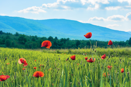 poppy flowers on a rural field in mountains. blurred background with forested hill in the distance. fleecy clouds on a bright blue sky. vivid agricultural scenery Stock Photo