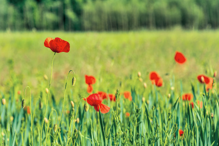 poppy flowers on a rural field. vivid agricultural background on a sunny day Stock Photo - 119823684