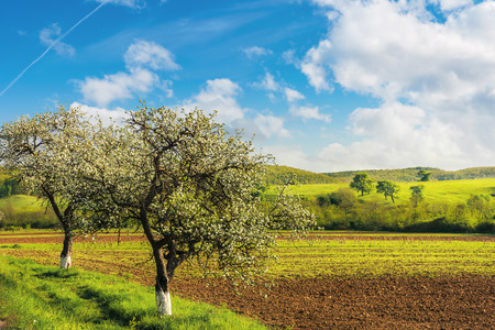 blossoming trees near the agricultural field. wonderful countryside landscape in springtime. grassy rolling hill in the distance. bright sunny weather with fluffy clouds on the blue sky Stock Photo