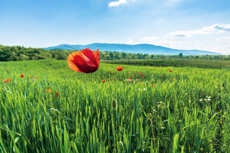 poppy on a rural field in mountains. blurred background with forested hills and mountain in the distance. fleecy clouds on a bright blue sky. vivid agricultural scenery in summer Stock Photo