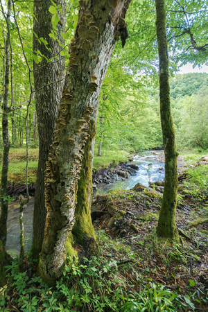 stream in the beech forest. green natural scenery. overcast day