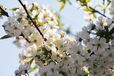 apple blossom in the garden. beautiful nature scenery in springtime. blurry orchard background. sunny weather. white petals Stock Photo - 120317461
