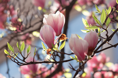 buds of pink magnolia blossom. branches with beautiful tender flowers. wonderful springtime background in the garden Stock Photo