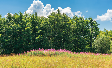 fireweed plants on the forest edge. wonderful summer weather at high noon Stockfoto - 120320864
