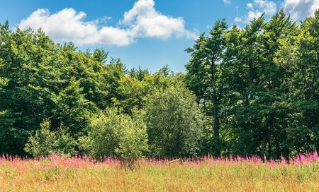 plantas de fireweed en el borde del bosque. maravilloso clima de verano al mediodía