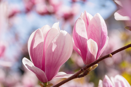 two pink magnolia buds on a twig. beautiful nature scenery in springtime. blurry garden background