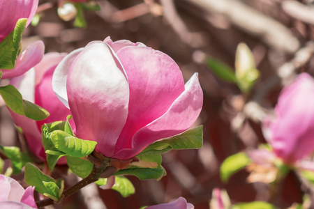 purple magnolia blossom. beautiful nature background in sunny springtime weather. bud close up Stock Photo
