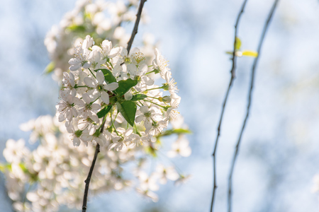 apple blossom in the garden. beautiful nature scene on a sunny day in springtime. white flowers on a blurred blue sky background
