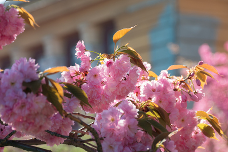 streets of old town in sakura blossom. beautiful urban scenery in springtime. wonderful sunny weather