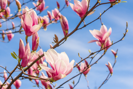 branch of pink magnolia on a sky background. beautiful nature scenery in springtime.