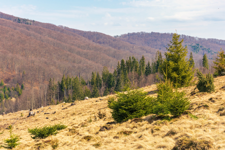early spring in mountains. meadow with weathered grass. spruce forest in the distance. wonderful sunny day Stock Photo