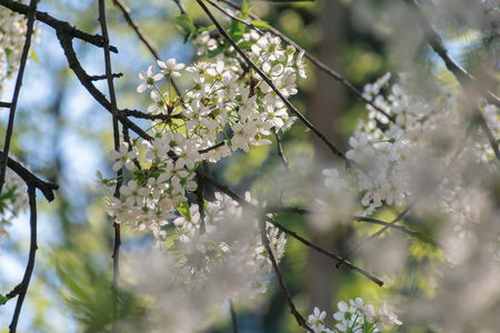apple blossom in the garden. beautiful nature scene. blurry orchard foreground. sunny weather in springtime. white flowers