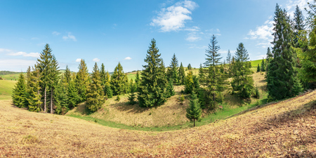 panorama with spruce trees on a humps. beautiful carpathian countryside with grassy meadows. blue sky with fluffy clouds. wonderful sunny weather in springtime