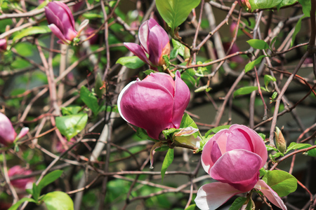 purple magnolia blossom. beautiful nature background in sunny springtime weather.