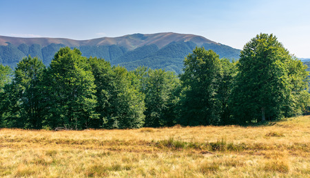 primeval beech forest in mountains. meadows in weathered grass. range of ridges in the distance. wonderful carpathian summer landscape. fine weather in august.