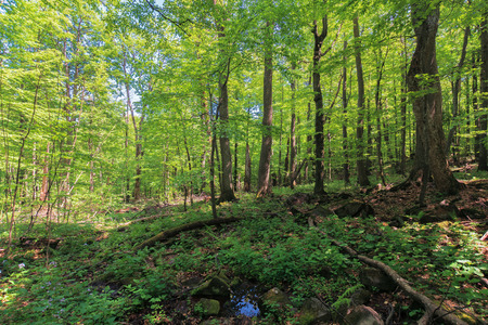 beech forest in summer. lush trees in the dense woods on a sunny summer day. beautiful nature scenery