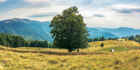 wonderful mountain landscape in late summer. alpine meadow with weathered grass. beech forest at the edge of a hill. huge tree in the middle. cow herd in the distance. beautiful carpathian countryside Stock Photo