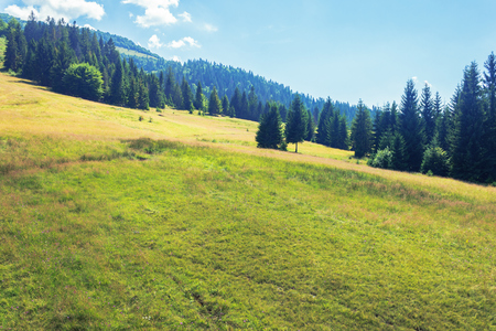 wonderful mountain landscape in summertime. alpine grassy meadow among spruce forest at the edge of a hill. beautiful nature scenery at high noon