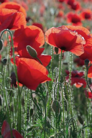poppy field blossoming in summer. beautiful nature background. remembrance day concept Stok Fotoğraf