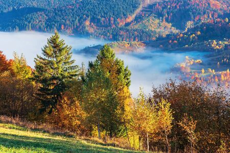 beautiful autumn morning in mountains. trees on the edge of a hill in fall colors, green grass on the meadow. valley full of fog. wonderful countryside on a sunny weather