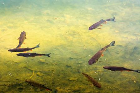 forelvissen in het meer. prachtige verlichting op het water. prachtige natuur achtergrond.
