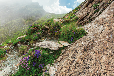 flora of the fagaras mountain. flowers among the grass on the edge of a steep rocky slope. foggy weather with cloudy sky on the background