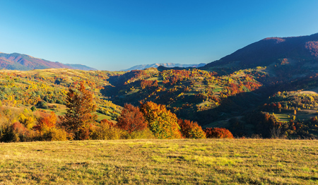 wonderful autumn afternoon in mountains. beautiful countryside landscape with trees in red foliage on rolling hills. rural area of carpathians. ridge in the distance. clear blue sky