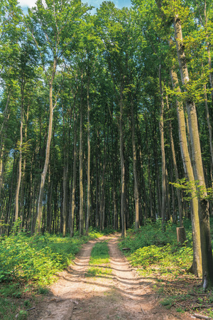country road through beech forest. tall trees with green lush crowns. beautiful nature scenery in summer evening light. explore back county concept