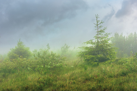 spruce tree on a meadow in fog. stormy summer day. overcast sky. rainy weather