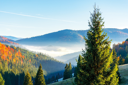 wonderful autumn sunrise in mountains. fog floating in the distant valley. hills with spruce and beech forest. beautiful sunny weather Stock Photo
