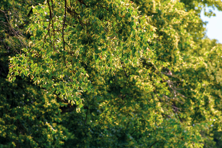 branches of linden tree in blossom. beautiful summer nature scenery. shallow depth of field Stock Photo