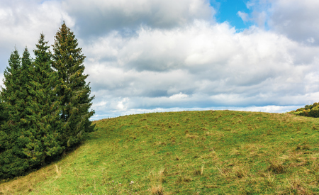 spruce trees on the edge of a grassy hill. lovely nature scenery on september cloudy day