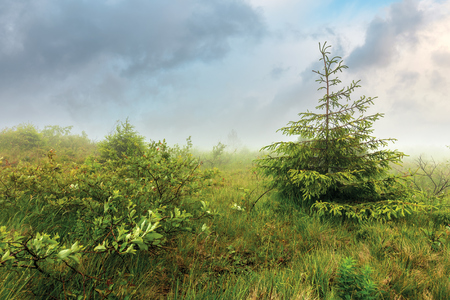 spruce tree on a meadow in fog. overcast summer day. hazy weather after the storm Stock Photo