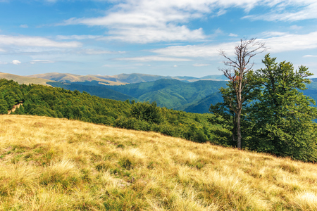 carpathian sub alpine meadows in august. beautiful mountain landscape. primeval beech forest on the edge of a hill. sunny weather with cloud formations on the blue sky. svydovets ridge in the distance
