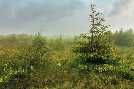 spruce tree on a meadow in haze. stormy weather in summer. overcast sky