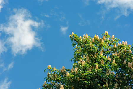 branches of chestnut tree in blossom.  beautiful summer nature scenery. blue sky with fluffy clouds on the background Stock Photo
