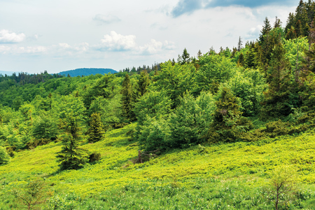 forest on hill in summer mountain landscape.  beautiful scenery on a sunny day with cloudy sky. wonderful nature background. explore carpathians concept