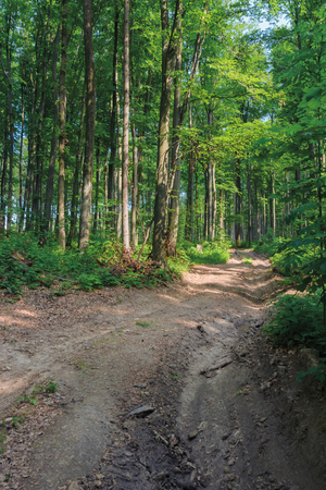 old country road through beech forest.  wonderful nature scenery. tall trees with lush green crowns in may