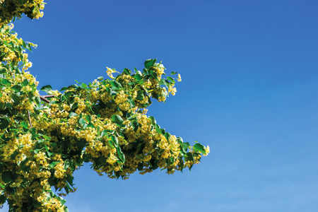 branches of blossoming linden on the blue sky background. beautiful nature scenery on a sunny summer noon. Stock Photo