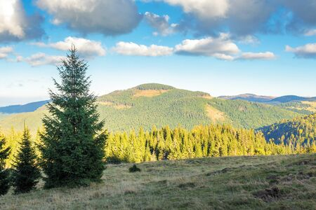 spruce forest on the edge of a hill. stunning landscape of apuseni natural park of romania. sunny afternoon weather in autumn. fluffy clouds on a blue sky