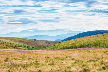 grassy meadow in the mountain landscape. purple fire weed flowers among the grass. ridge in the distance beneath a cloudy sky. sunny august weather