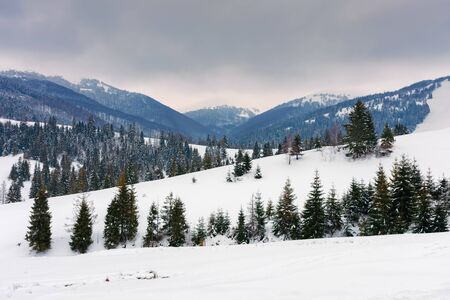 spruce trees on snowy hillside in mountains. beautiful winter countryside scenery on an overcast day Stock Photo